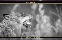 Kasper T. Andersen: Ulven kan ikke jage naturligt i Danmark