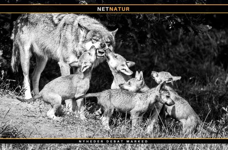 Ulvepar står bag adskillige drab på husdyr