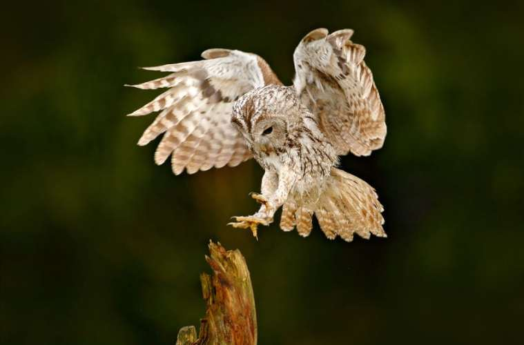 Natuglen - en stedfast rovfugl