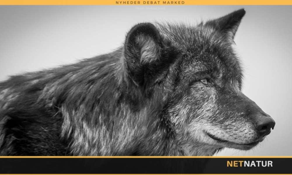 Miljø- og fødevareminister vil gøre det muligt at skyde ulve