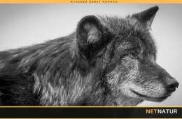 Miljøminister vil gøre det muligt at skyde ulve
