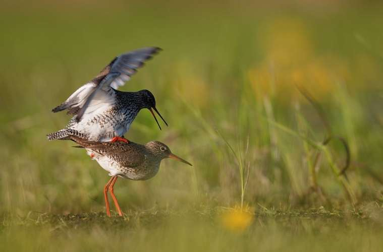 Ynglende fugle beskyttes af hegn