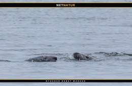 Gråsæler i Vadehavet vokser i antal