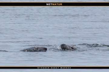 Rekordmange sæler i Vadehavet