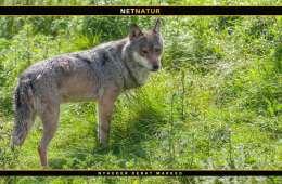 """Var den polske """"ulv"""" overhovedet en ulv?"""