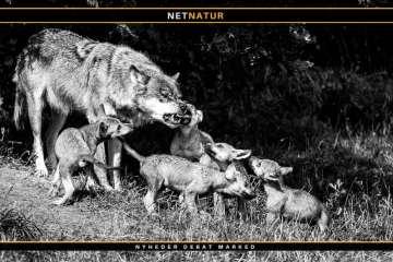 FACE presser EU og forlange national forvaltning af ulve