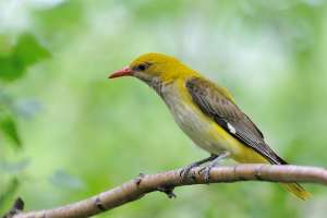 Pirol - en fantastisk flot og farverig spurvefugl