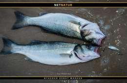 Mindstemål for fisk