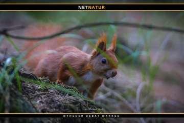 Egernet - skovenes og havernes lille frække gavtyv