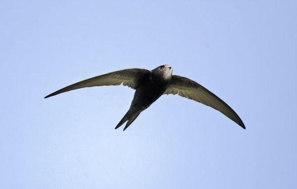 Mursejleren - et helt liv på vingerne