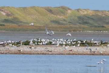 Kunstige fugleøer - et godt ynglested på bare ét år