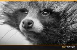 Mårhund - info og vejledning i bekæmpelse