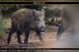 Vigtigt med en fælles EU-indsats mod afrikansk svinepest