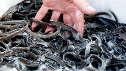 En million ål er udsat