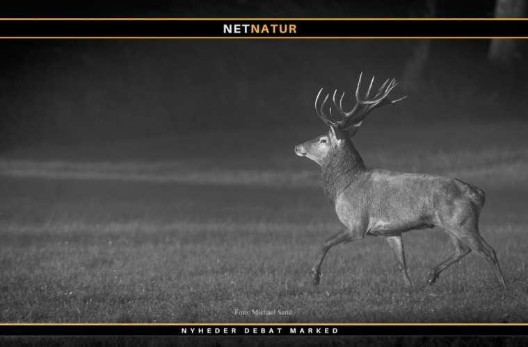 Naturstyrelsen Thy: Skyd ikke ældre hjorte