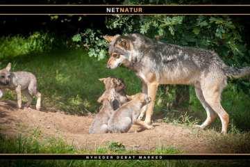 Ny danskfødt ulv er vandret til Tyskland