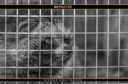 Hvalpesyge og mårhund