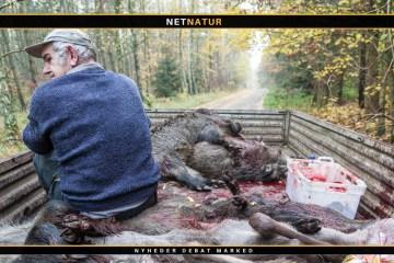Ukontroleret vildsvinekød importeres i stigende grad til Danmark