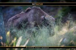 Europæiske bisoner på vej til Lille Vildmose