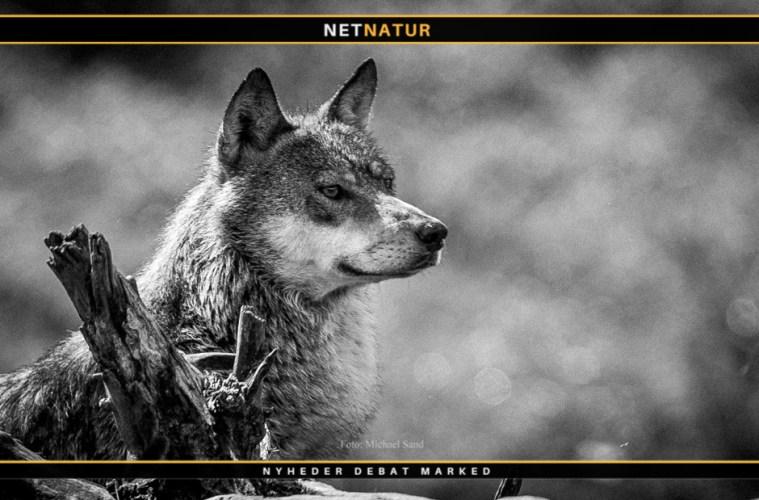 Video viser ulv, der tager et rådyr i en baghave