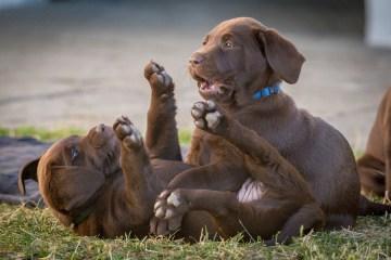 De mest populære hunderacer 2018