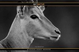 Verdens største impala til salg