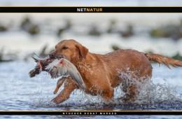 Labrador retriever på ande- og gåsejagt