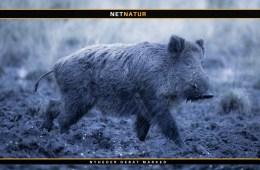 Sverige sætter hårdt ind mod voksende bestand af vildsvin