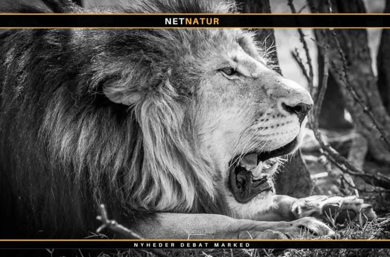 Trofæer fra sydafrikanske løver kan stadig importeres til Danmark