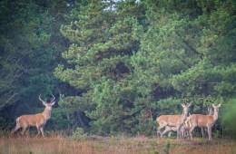 Jagt udlejes i Rold skov