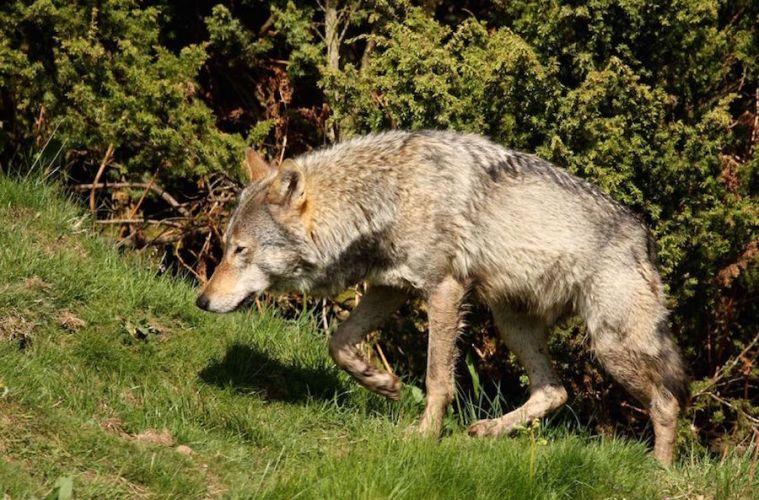Skuddræbt ulv var ikke en hybrid
