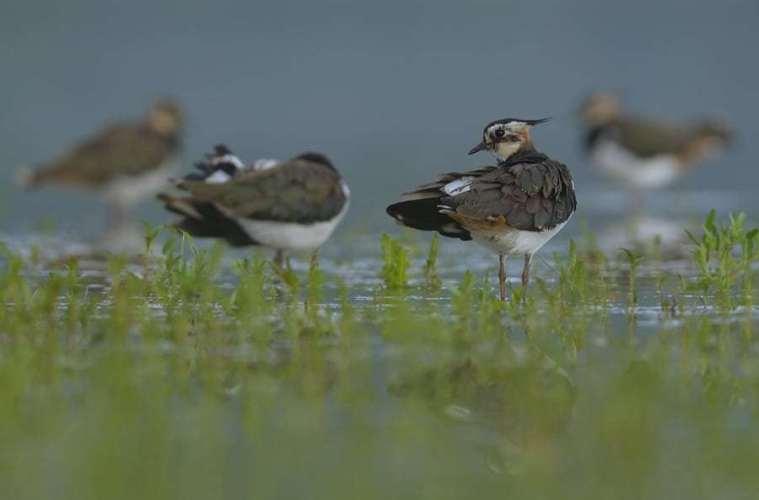 Landmænd og ornitologer vil hjælpe viben