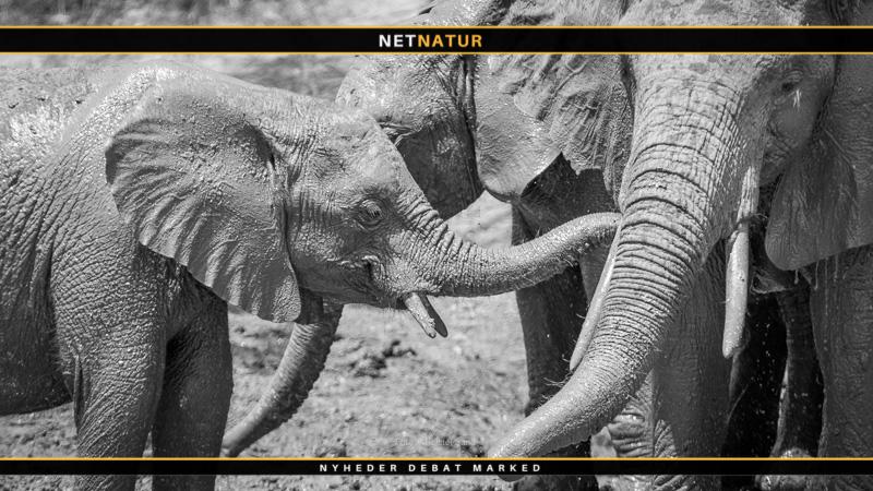 Derfor indføres der jagt på elefanter