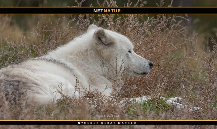 En ulv er mere end bare en ulv