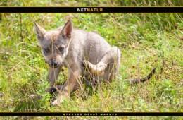 Nye anbefalinger til afstand fra ulvehvalpe