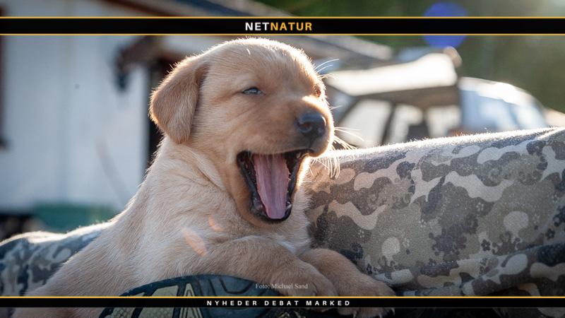 Kennelhoste - ufarlig for sunde hunde