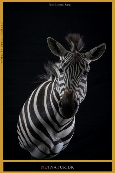 Zebra udstoppet
