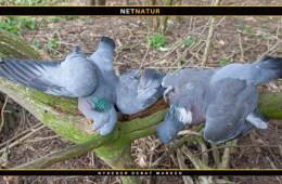 Regulering af duer