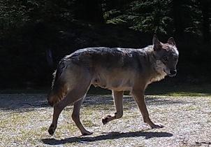 Danske ulve - statusrapport 2. kvartal 2019