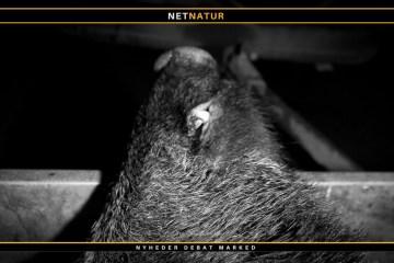 Vildsvin på Ærø skal ikke undersøges for svinepest: Bizart, mener DN