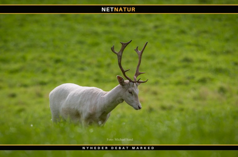 Hvid dåhjort