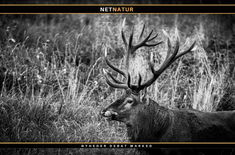 Lea Wermelin - åbent brev om jagt