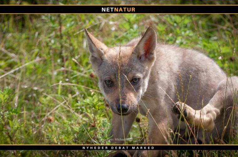 Ingen ulvehvalpe i Danmark i 2020