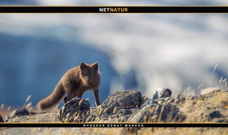 Nærtgående ræve med rabies i Grønland
