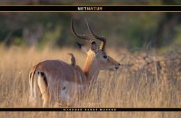 Jagt Afrika