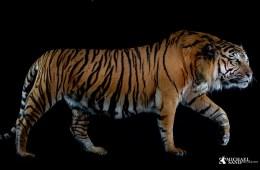 Tiger og krybskytte