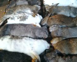 Kaniner til hundetræning