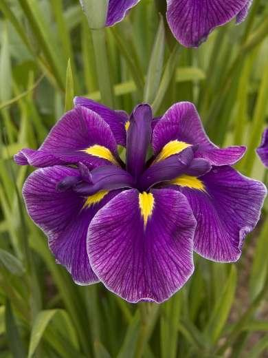 Iris ensata 'Katy Mendez'