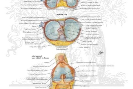 Interior knee diagram electronic wallpaper electronic wallpaper knee pain interior of the knees diagram chiropractic dr john hamilton the anatomy of the medial part of the knee mendmeshop knee anatomy there are ligaments ccuart Image collections