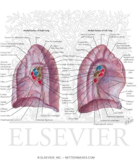 Right Hilum Lung Region